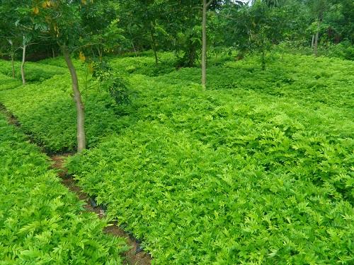 Những cây trồng khiến bạn dễ dàng trở thành tỷ phú